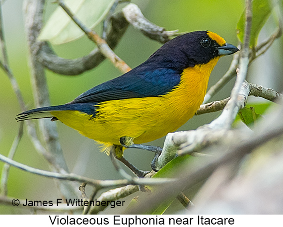 Violaceous Euphonia - © The Photographer and Exotic Birding LLC
