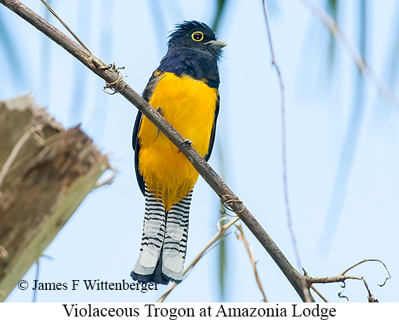 Violaceous Trogon - © James F Wittenberger and Exotic Birding Tours