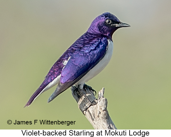 Violet-backed Starling - © James F Wittenberger and Exotic Birding LLC
