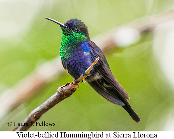 Violet-bellied Hummingbird - © Laura L Fellows and Exotic Birding Tours