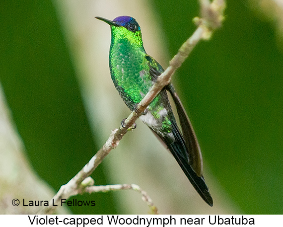 Violet-capped Woodnymph - © The Photographer and Exotic Birding LLC