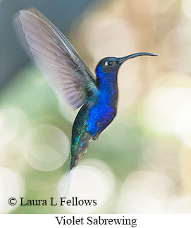 Violet Sabrewing - © Laura L Fellows and Exotic Birding Tours