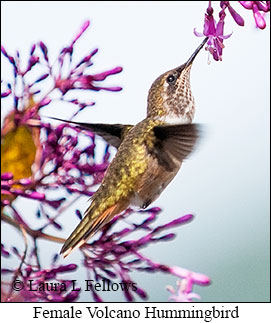 Volcano Hummingbird - © Laura L Fellows and Exotic Birding Tours