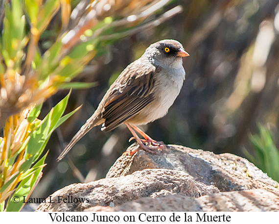 Volcano Junco - © Laura L Fellows and Exotic Birding LLC