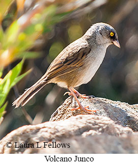Volcano Junco - © Laura L Fellows and Exotic Birding Tours