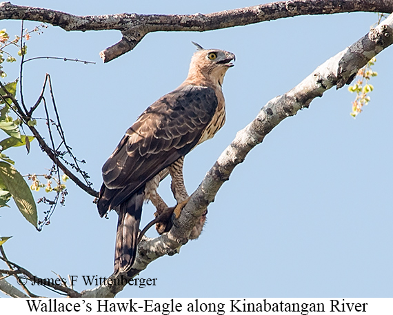 Wallace's Hawk-Eagle - © James F Wittenberger and Exotic Birding Tours