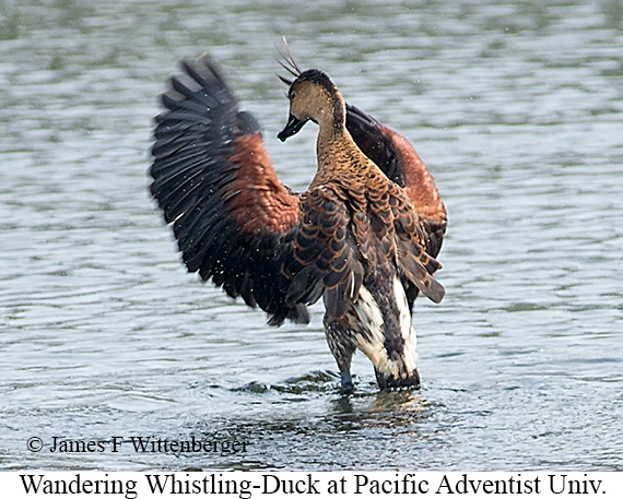 Wandering Whistling-Duck - © James F Wittenberger and Exotic Birding Tours