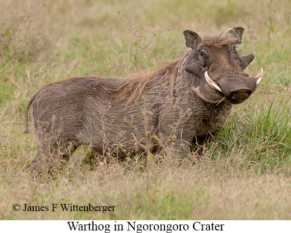 Warthog - © James F Wittenberger and Exotic Birding Tours