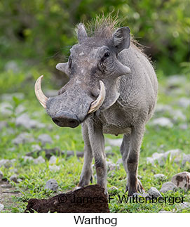 Warthog - © James F Wittenberger and Exotic Birding LLC