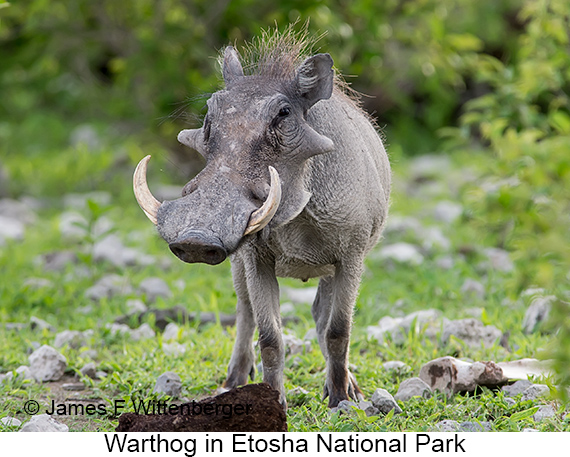 Warthog - © Laura L Fellows and Exotic Birding Tours