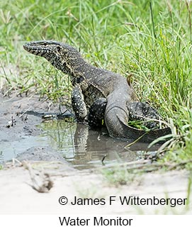 Water Monitor - © James F Wittenberger and Exotic Birding LLC