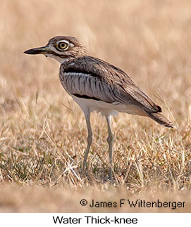 Water Thick-knee - © James F Wittenberger and Exotic Birding LLC