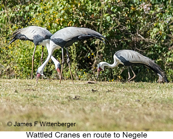 Wattled Crane - © James F Wittenberger and Exotic Birding LLC