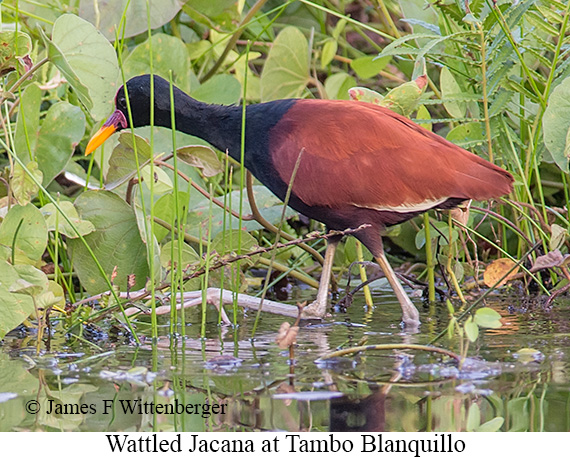 Wattled Jacana - © James F Wittenberger and Exotic Birding Tours