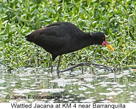 Wattled Jacana - © James F Wittenberger and Exotic Birding LLC