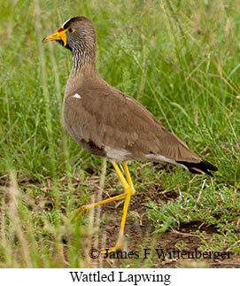 Wattled Lapwing - © James F Wittenberger and Exotic Birding Tours