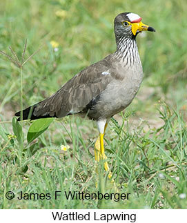 Wattled Lapwing - © James F Wittenberger and Exotic Birding LLC
