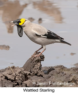 Wattled Starling - © James F Wittenberger and Exotic Birding LLC