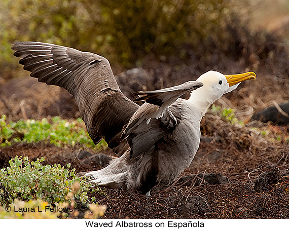 Waved Albatross - © The Photographer and Exotic Birding LLC