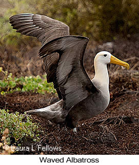 Waved Albatross - © Laura L Fellows and Exotic Birding Tours