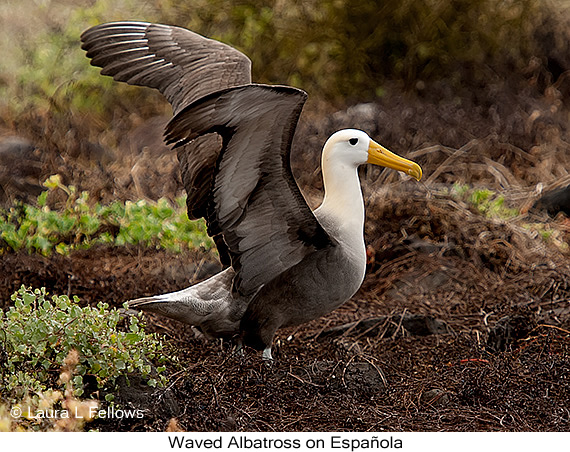 Waved Albatross - © Laura L Fellows and Exotic Birding LLC