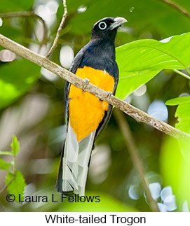 White-tailed Trogon - © Laura L Fellows and Exotic Birding Tours