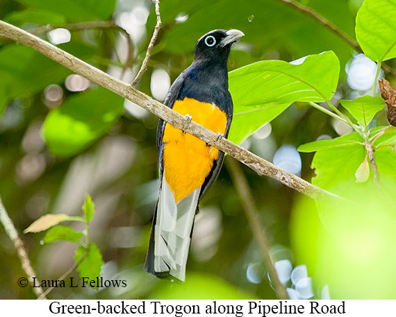 White-tailed Trogon - © Laura L Fellows and Exotic Birding LLC