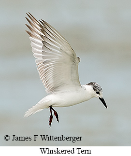 Whiskered Tern - © James F Wittenberger and Exotic Birding LLC
