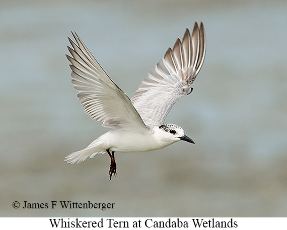 Whiskered Tern - © James F Wittenberger and Exotic Birding Tours