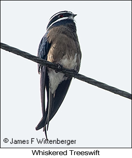 Whiskered Treeswift - © James F Wittenberger and Exotic Birding LLC