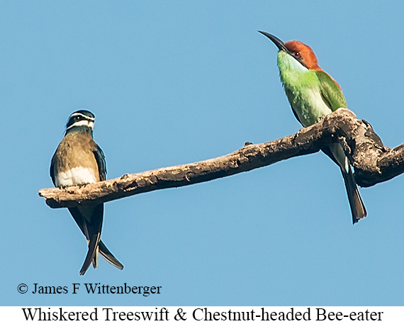 Whiskered Treeswift - © James F Wittenberger and Exotic Birding Tours
