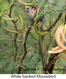 White-backed Mousebird - © James F Wittenberger and Exotic Birding LLC