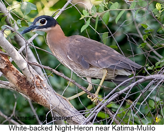 White-backed Night-Heron - © James F Wittenberger and Exotic Birding LLC