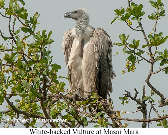 White-backed Vulture - © James F Wittenberger and Exotic Birding LLC