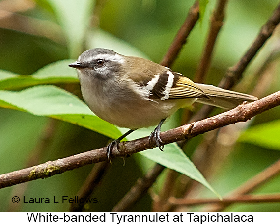 White-banded Tyrannulet - © Laura L Fellows and Exotic Birding Tours