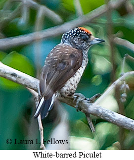 White-barred Piculet - © Laura L Fellows and Exotic Birding Tours
