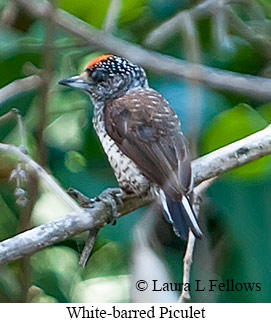 White-barred Piculet - © Laura L Fellows and Exotic Birding LLC
