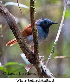 White-bellied Antbird - © Laura L Fellows and Exotic Birding Tours