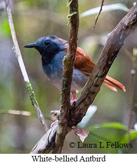 White-bellied Antbird - © Laura L Fellows and Exotic Birding LLC