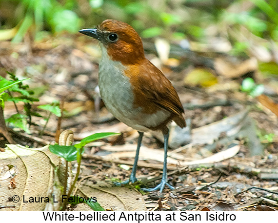 White-bellied Antpitta - © Laura L Fellows and Exotic Birding LLC