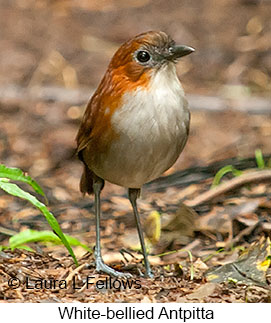 White-bellied Antpitta - © Laura L Fellows and Exotic Birding Tours