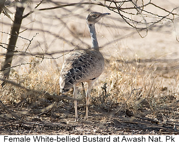 White-bellied Bustard - © James F Wittenberger and Exotic Birding LLC