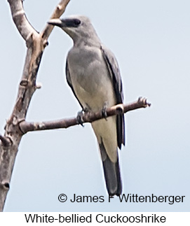 White-bellied Cuckooshrike - © James F Wittenberger and Exotic Birding Tours