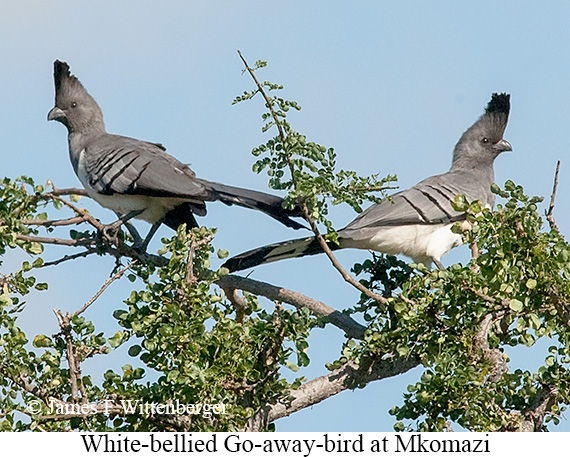 White-bellied Go-away-bird - © The Photographer and Exotic Birding LLC