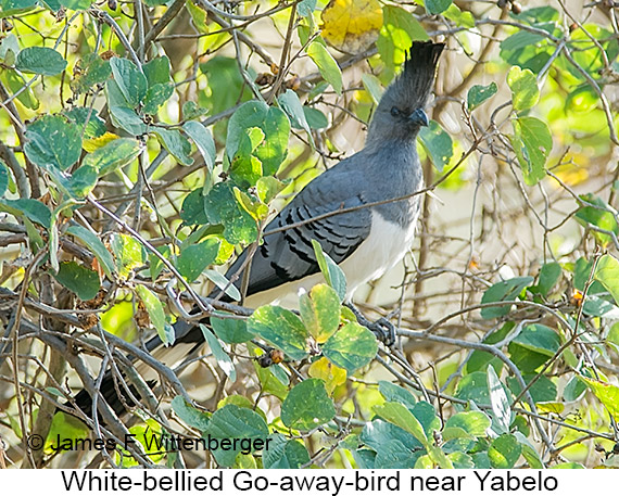 White-bellied Go-away-bird - © James F Wittenberger and Exotic Birding LLC