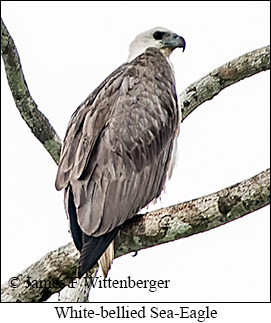 White-bellied Sea-Eagle - © James F Wittenberger and Exotic Birding Tours