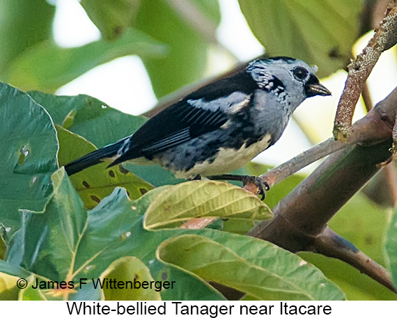 White-bellied Tanager - © James F Wittenberger and Exotic Birding LLC