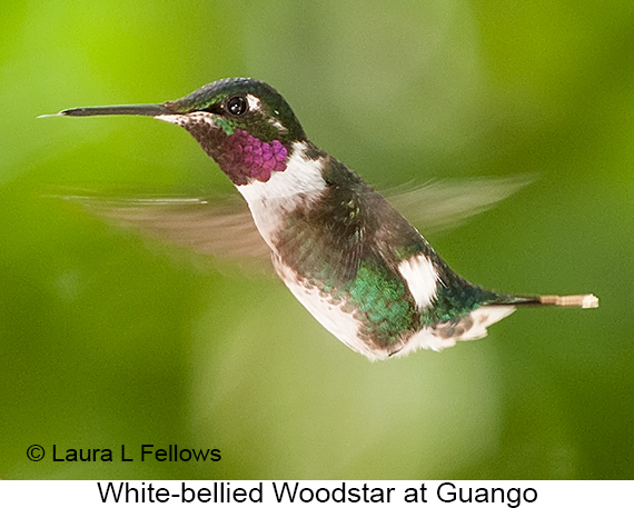 White-bellied Woodstar - © Laura L Fellows and Exotic Birding Tours