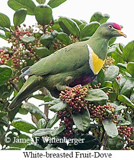 White-breasted Fruit-Dove - © James F Wittenberger and Exotic Birding LLC