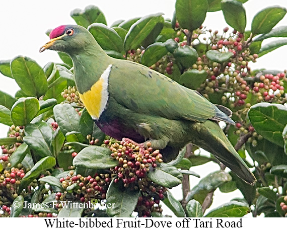White-breasted Fruit-Dove - © James F Wittenberger and Exotic Birding Tours